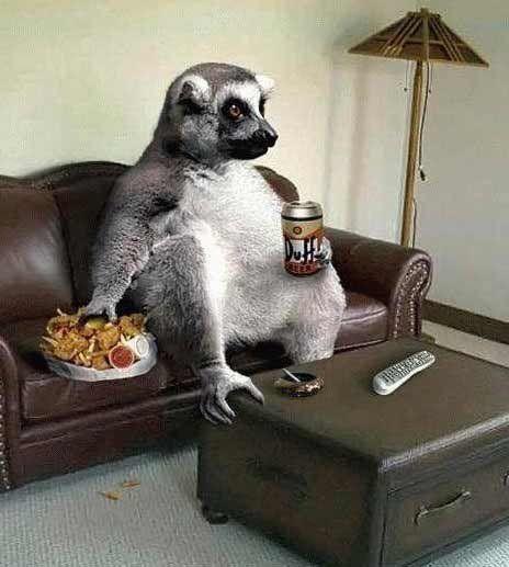 Lemur schaut Fernsehen