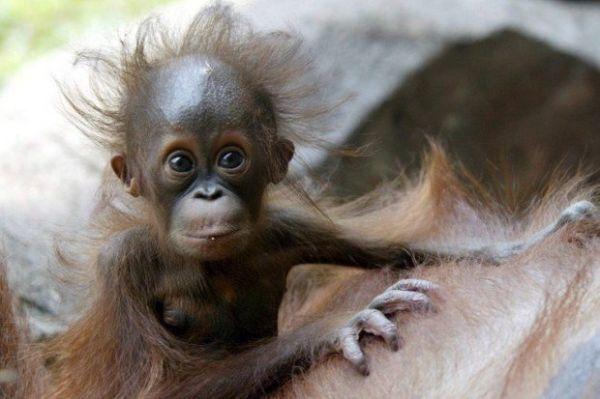 Kleinem Baby Äffchen stehen die Haare zu Berge